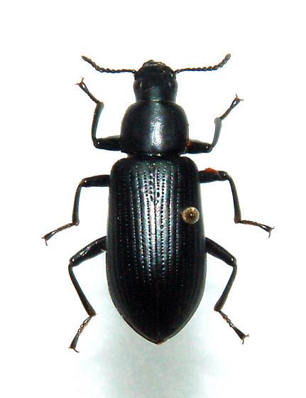 Darkling Beetle - Alobates barbatus