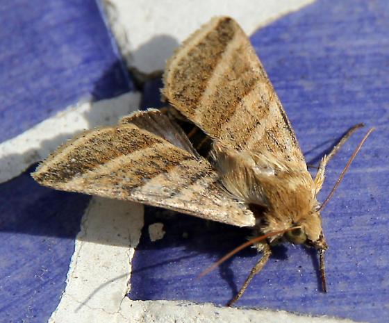 Erebidae species?  - Chloridea subflexa