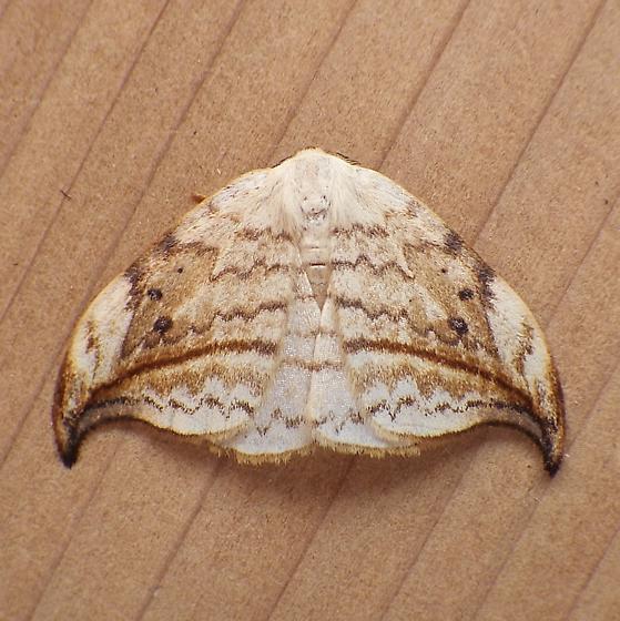 Depranidae: Deprana arcuata - Drepana arcuata
