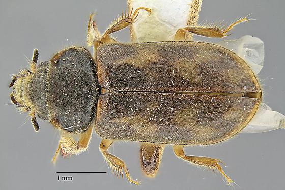 Heteroceridae - Heterocerus