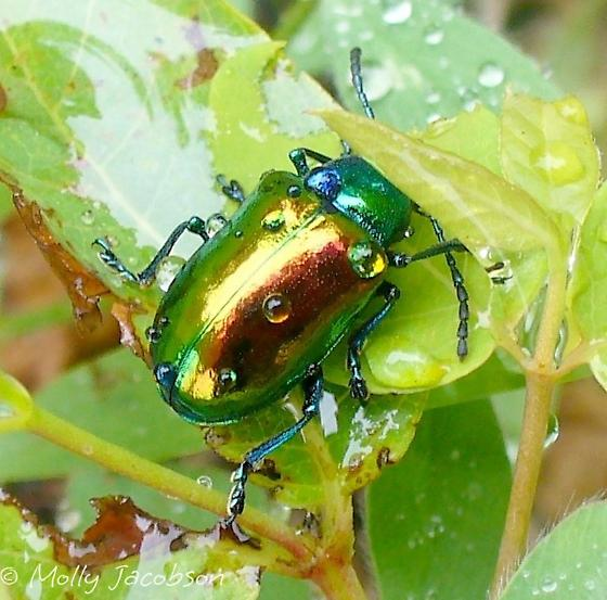 Colorful horned beetle - photo#5