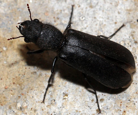 Which beetle is this? - Polycaon stoutii