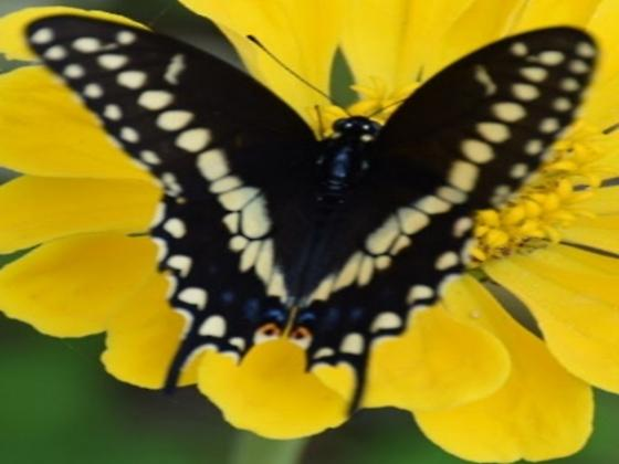 Black Butterfly - Papilio polyxenes