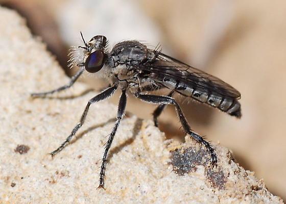 Common Early Asilid - Nannocyrtopogon vanduzeei - male