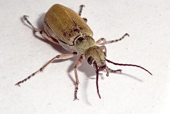 Brown Blister Beetle - Epicauta rileyi. ? - Epicauta cupraeola