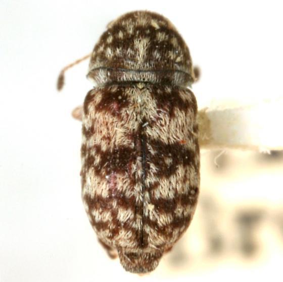 Ormiscus irroratus (Schaeffer) - Ormiscus irroratus