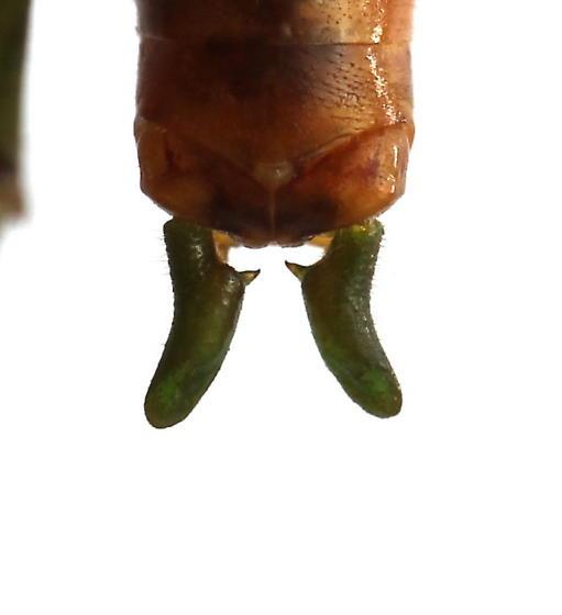 Conocephalus spartinae - male