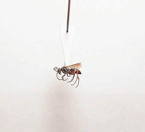Aporinellus taeniolatus - Aporinellus taeniatus - female