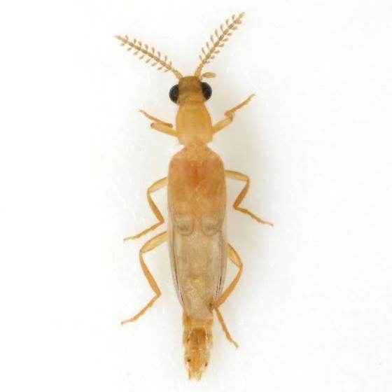 Cenophengus pallidus Schaeffer - Cenophengus pallidus - male