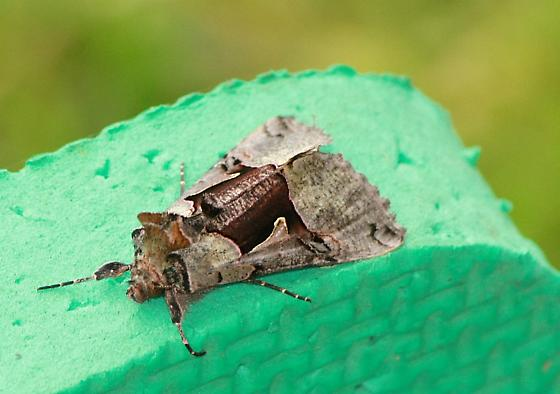 Moth With Metallic Gold Markings On Wings - Autographa ampla