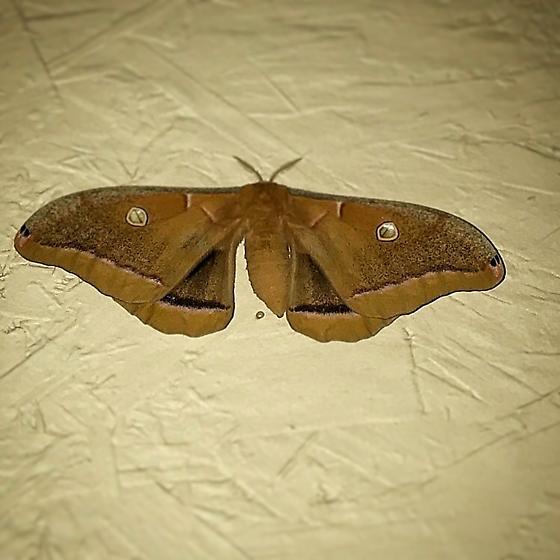 Polyphemus - Antheraea polyphemus - female