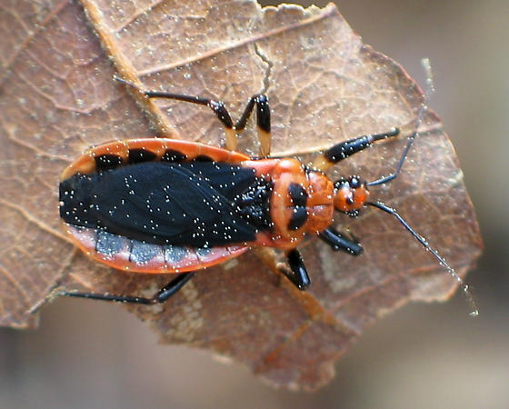 Assassin Bug - Rhiginia cruciata
