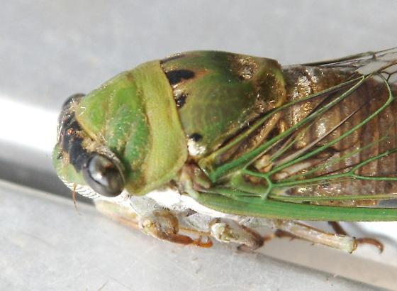 Cicada, mostly green - Neotibicen superbus
