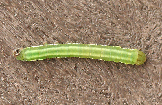 a green and white striped Caterpillar