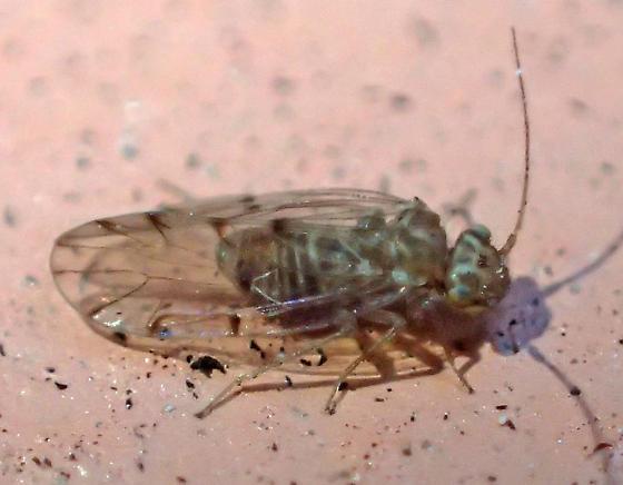 Ectopsocus? - Ectopsocus