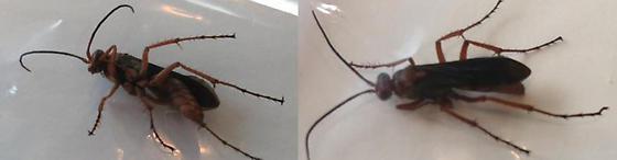 Second Try - Unknown Stinging Bug - Tachypompilus ferrugineus - female