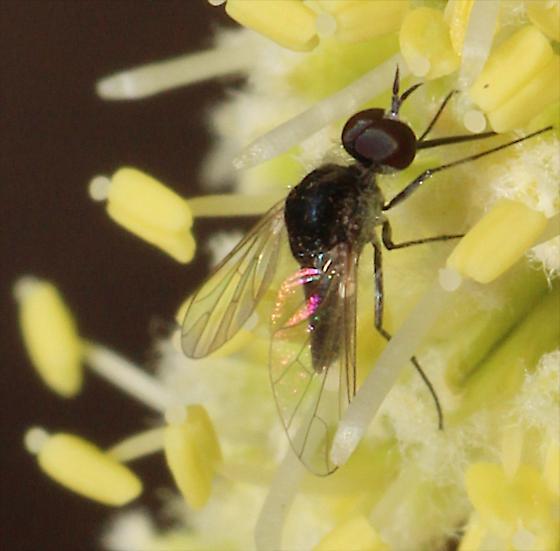 Phthiriinae Bee Fly? - Geron