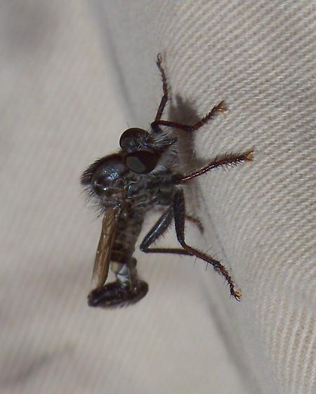 Efferia - Pogonias group - Efferia jubata - male