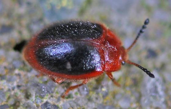 Beetle - Stenotarsus hispidus