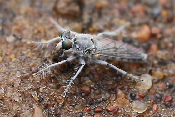 Small Robber Fly - Stichopogon argenteus