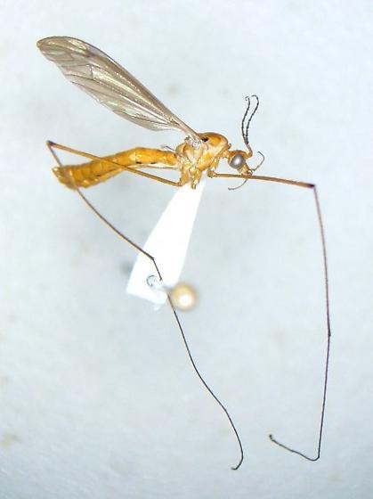 Crane fly KY 1 - Nephrotoma ferruginea - male