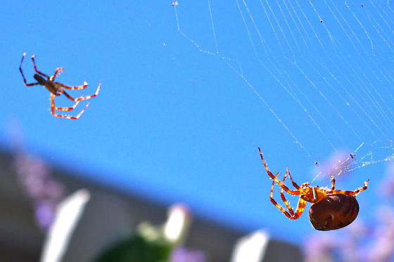 Big Spider in the garden - Araneus diadematus