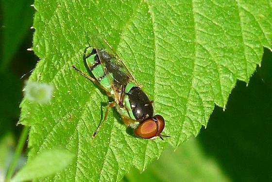 Pretty fly; black and green - Odontomyia cincta - male