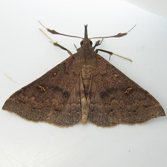 Speckled Renia Moth - Hodges#8386 - Renia adspergillus - male