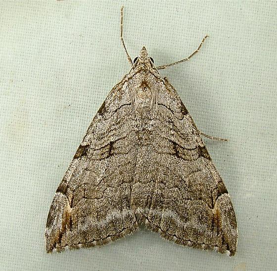 1642 Aplocera plagiata - Treble-Bar Moth 7627 - Aplocera plagiata