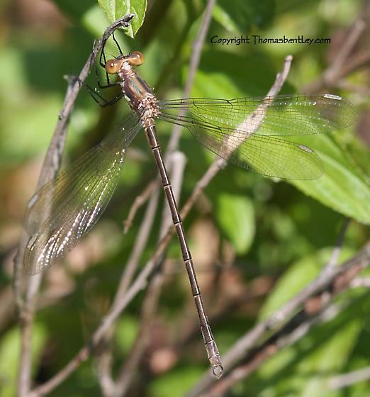 Spreadwing Damsel - Lestes eurinus - male