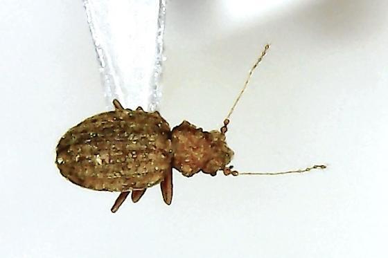Dasycerus sp. - Dasycerus
