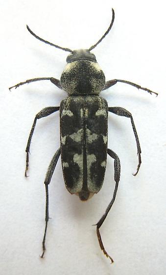 Xylotrechus? - Xylotrechus albonotatus