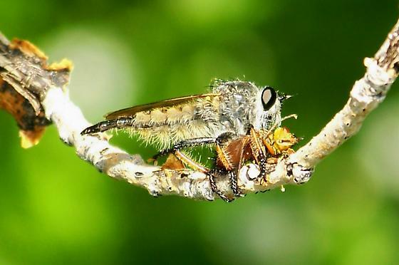 Large robber fly sp. - Promachus sackeni - female