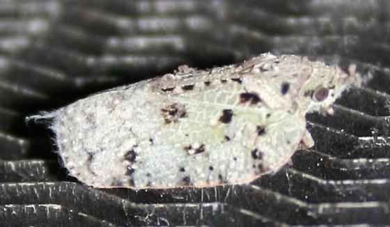 Moth or something else? - Flatoidinus punctatus