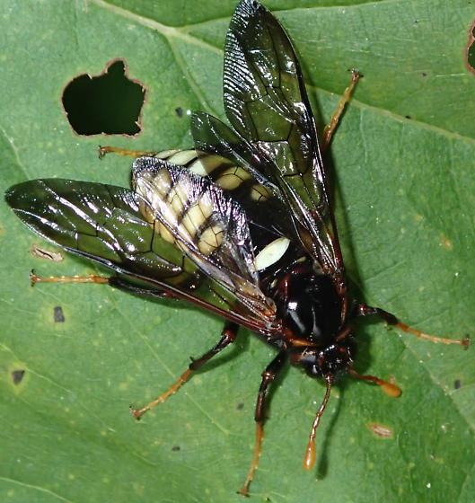 Sawfly - Cimbex americanus - female