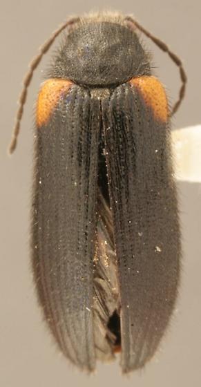 Macropogon testaceipennis Motschulsky - Macropogon testaceipennis