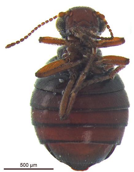 Caurinus tlagu - female