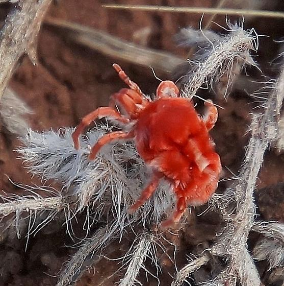 fuzzy mini red - Dinothrombium
