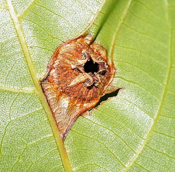 Hammer-headed, caterpillar-like insect larva - Phylloxera