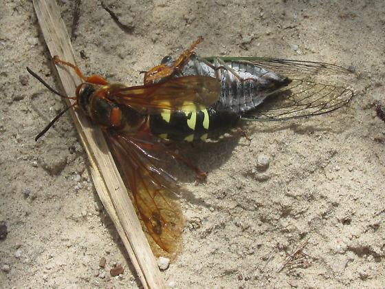 Sphecius speciosus - female