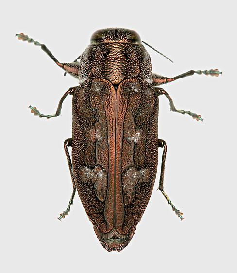 BG843 C8301 - Chrysobothris cribraria