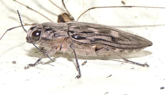 Beetle species? - Chalcophora virginiensis