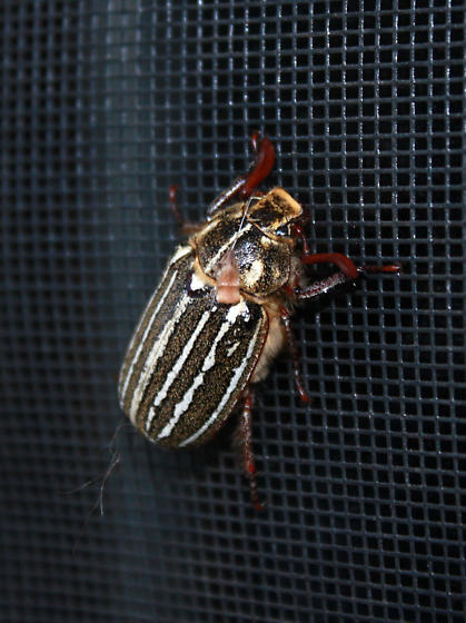 Beetle in Flagstaff, AZ - Polyphylla decemlineata