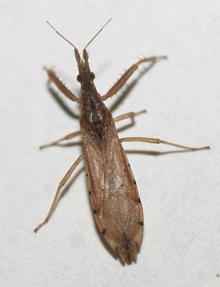 Pnirontis - Pnirontis infirma - female