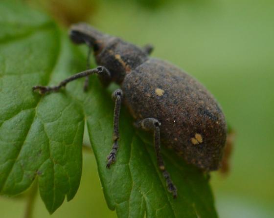Weevil - Trichalophus