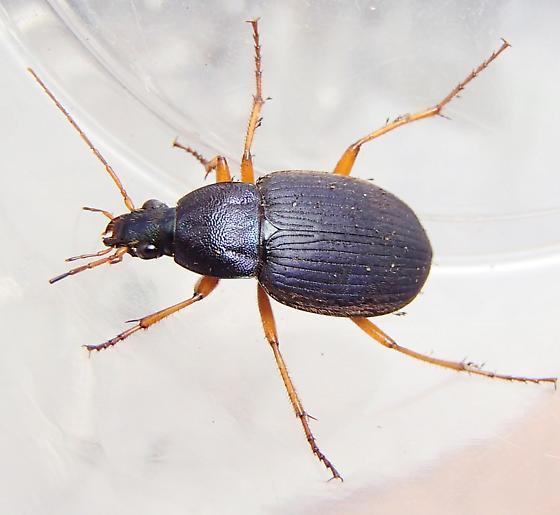 subgenus Chlaeniellus - Chlaenius laticollis