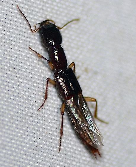 Staphylinidae - Homaeotarsus