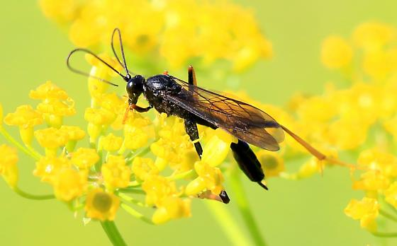 ichneumon wasp - Exetastes suaveolens