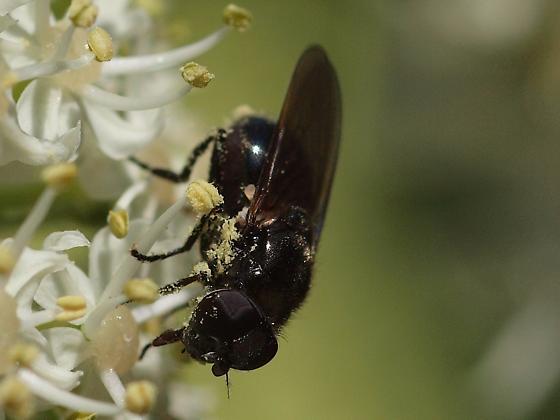 Fly, Cow Parsnip #2 - Hiatomyia