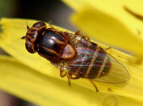 Syrphidae ??  female? - Thaumatomyia annulata